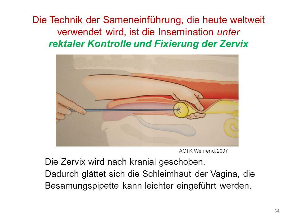 Die Technik der Sameneinführung, die heute weltweit verwendet wird, ist die Insemination unter rektaler Kontrolle und Fixierung der Zervix