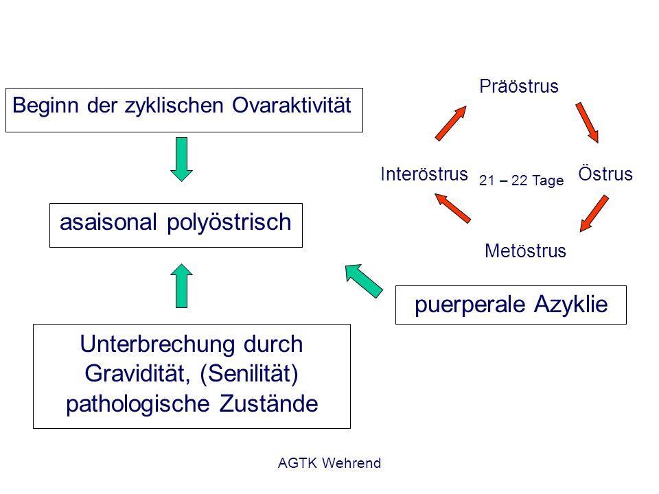 asaisonal polyöstrisch