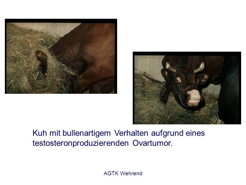Kuh mit bullenartigem Verhalten aufgrund eines testosteronproduzierenden Ovartumor.