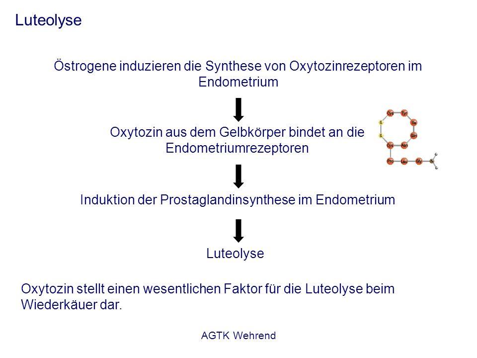 Oxytozin aus dem Gelbkörper bindet an die Endometriumrezeptoren