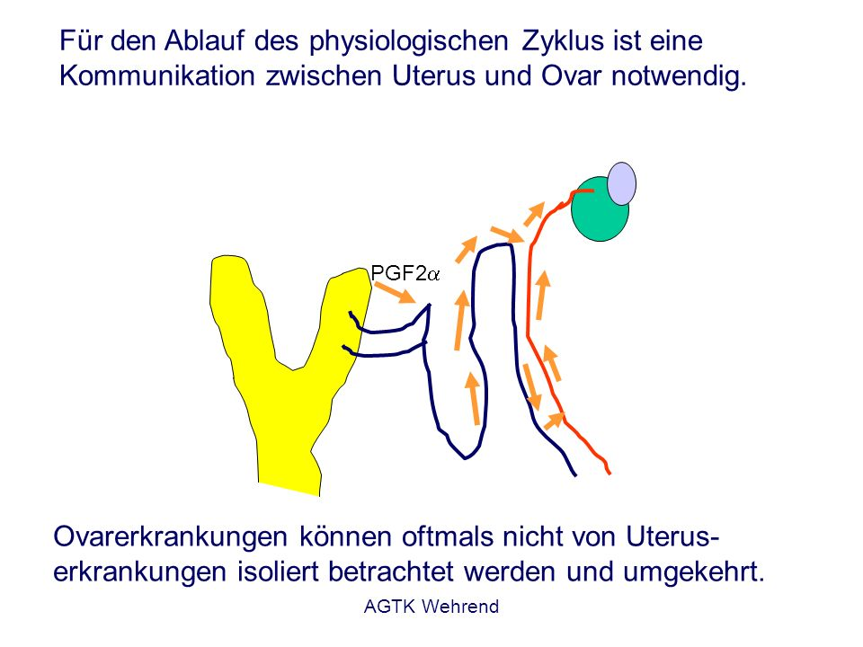 Für den Ablauf des physiologischen Zyklus ist eine Kommunikation zwischen Uterus und Ovar notwendig.