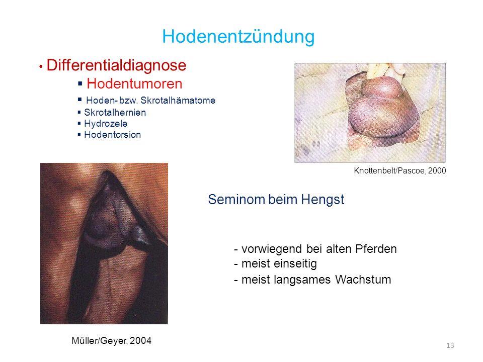 Hodenentzündung Hodentumoren Seminom beim Hengst Differentialdiagnose