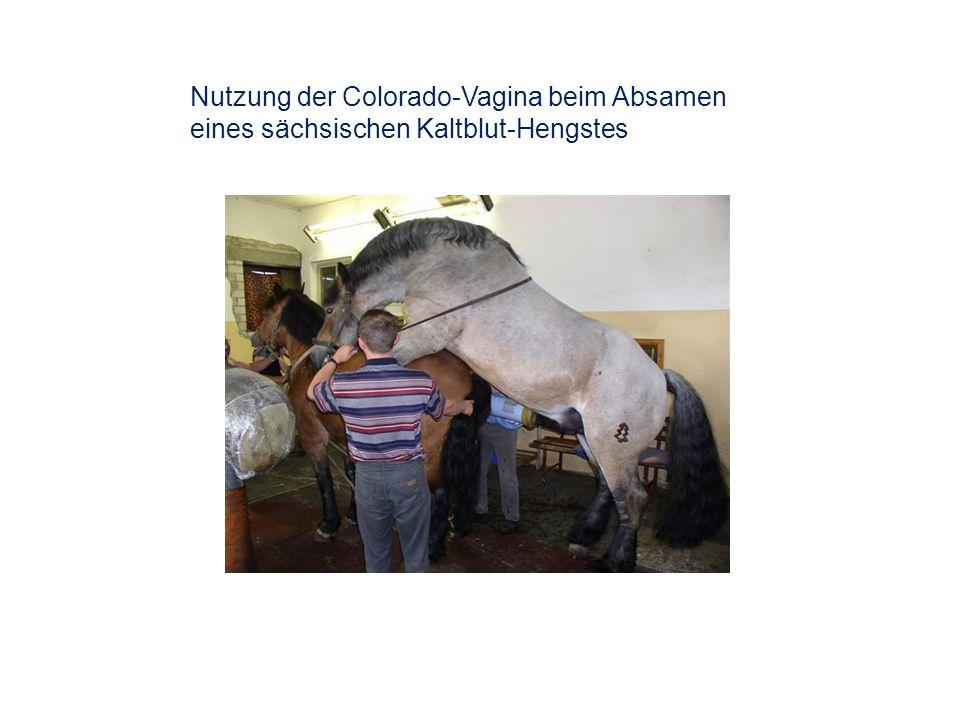 Nutzung der Colorado-Vagina beim Absamen eines sächsischen Kaltblut-Hengstes