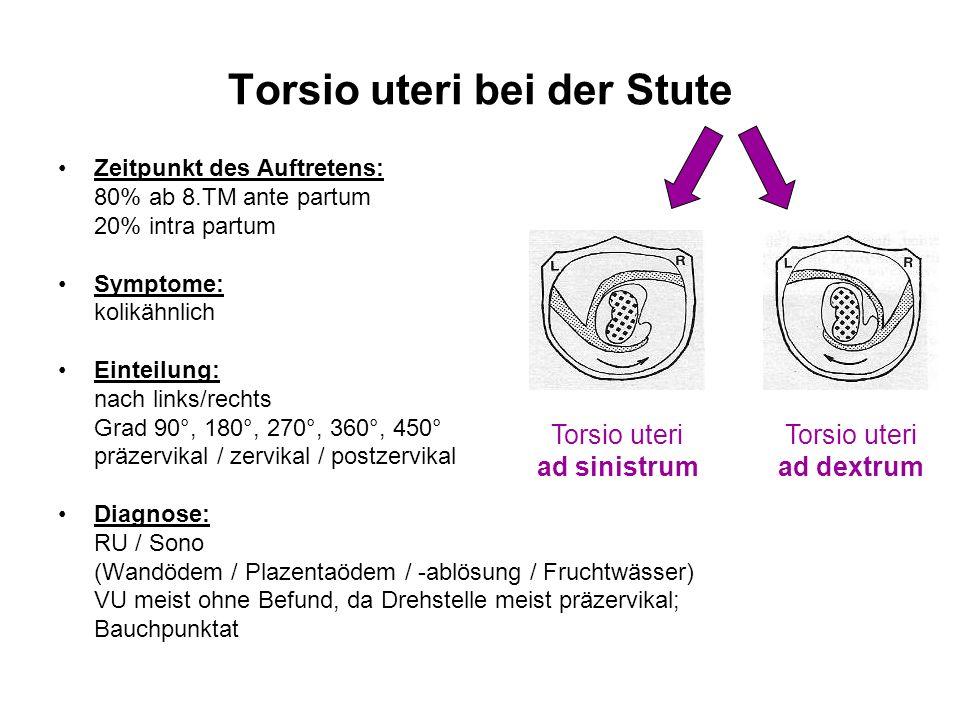 Torsio uteri bei der Stute