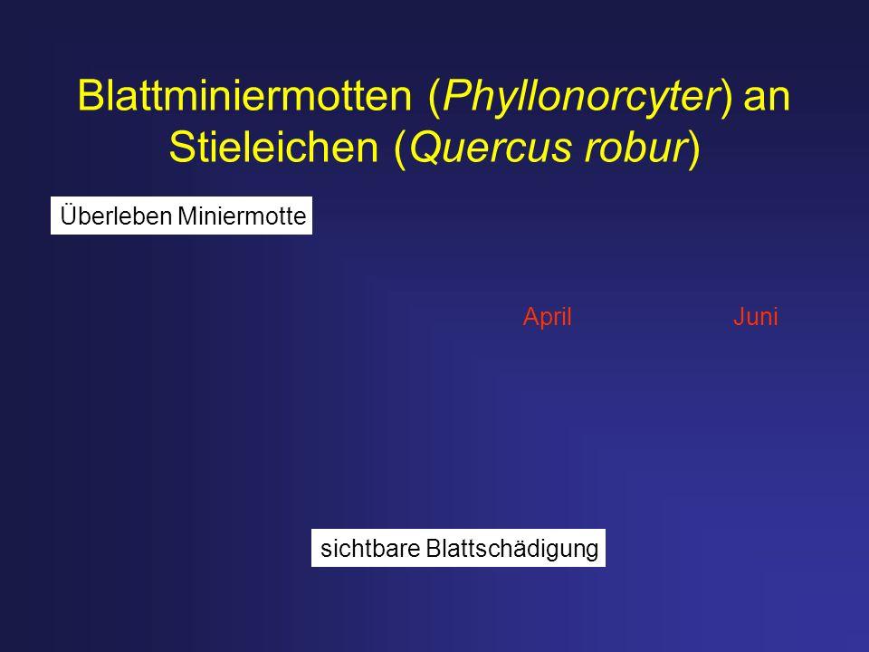 Blattminiermotten (Phyllonorcyter) an Stieleichen (Quercus robur)