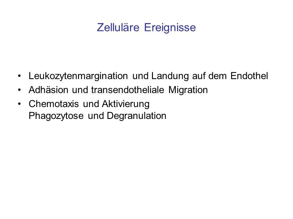 Zelluläre Ereignisse Leukozytenmargination und Landung auf dem Endothel. Adhäsion und transendotheliale Migration.
