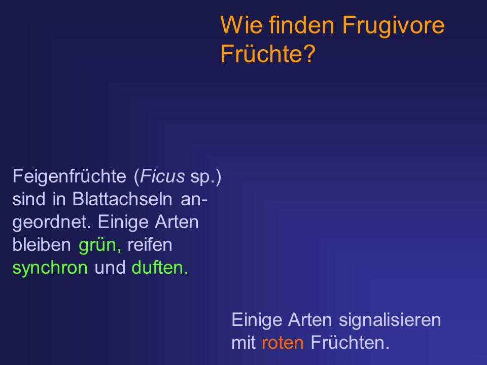 Wie finden Frugivore Früchte Feigenfrüchte (Ficus sp.)