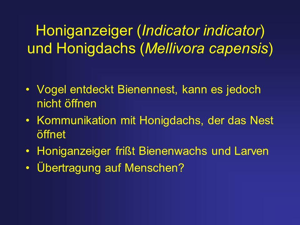 Honiganzeiger (Indicator indicator) und Honigdachs (Mellivora capensis)
