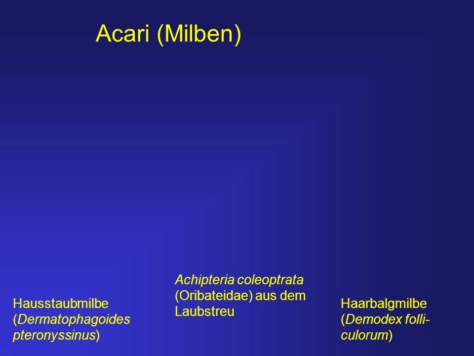 Acari (Milben) Achipteria coleoptrata (Oribateidae) aus dem Laubstreu