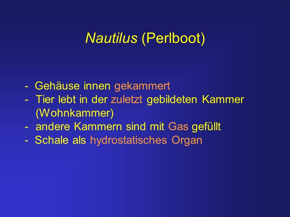 Nautilus (Perlboot) - Gehäuse innen gekammert