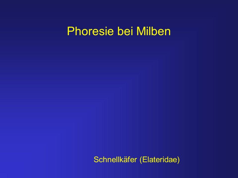 Phoresie bei Milben Schnellkäfer (Elateridae)