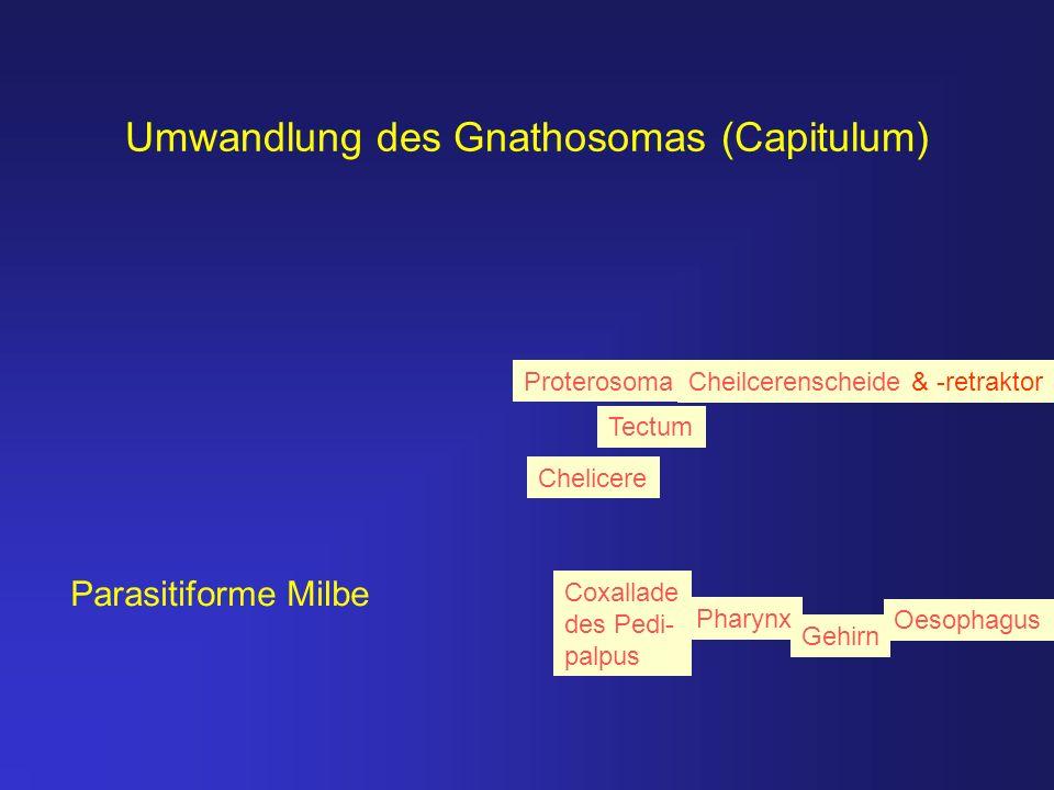 Umwandlung des Gnathosomas (Capitulum)