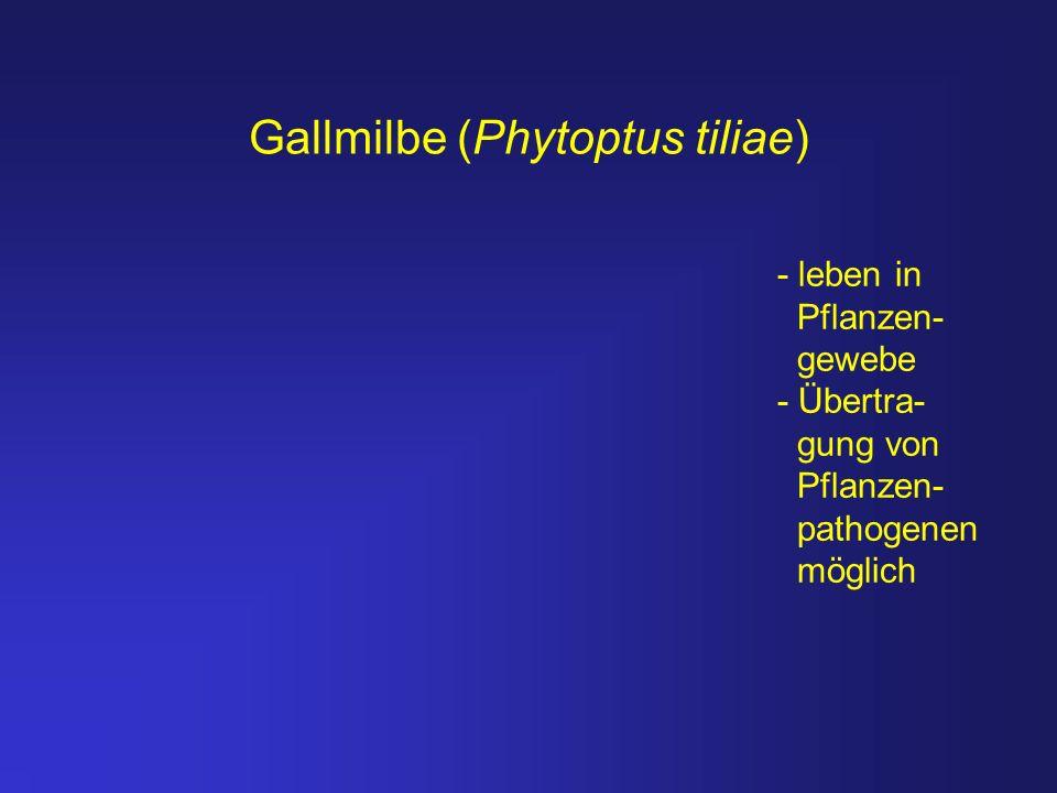 Gallmilbe (Phytoptus tiliae)