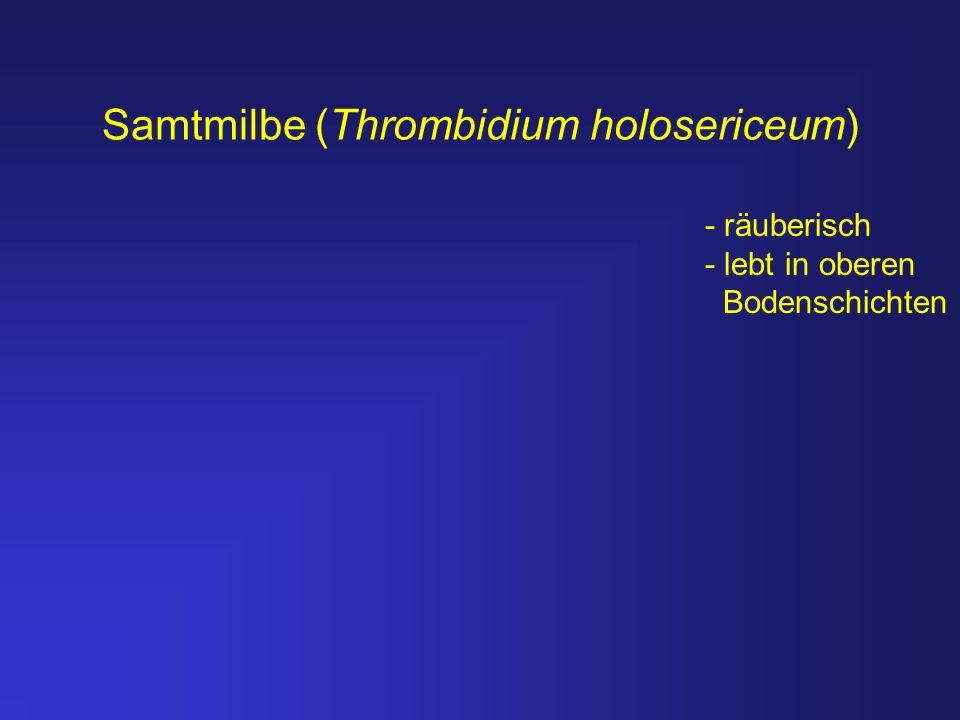 Samtmilbe (Thrombidium holosericeum)
