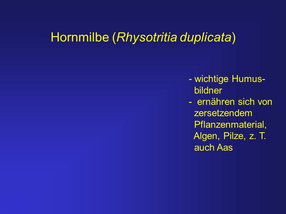Hornmilbe (Rhysotritia duplicata)