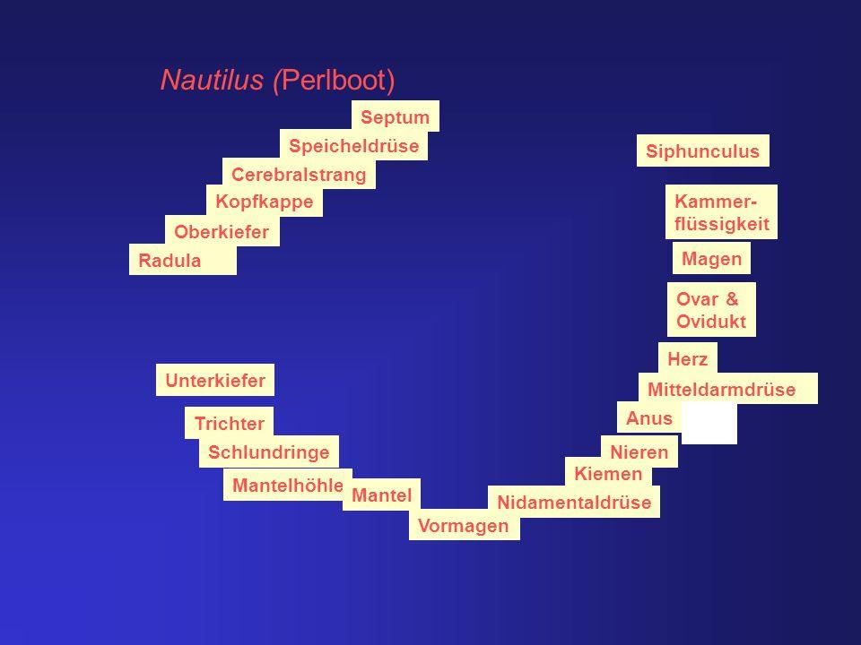 Nautilus (Perlboot) km Septum Speicheldrüse Siphunculus Cerebralstrang