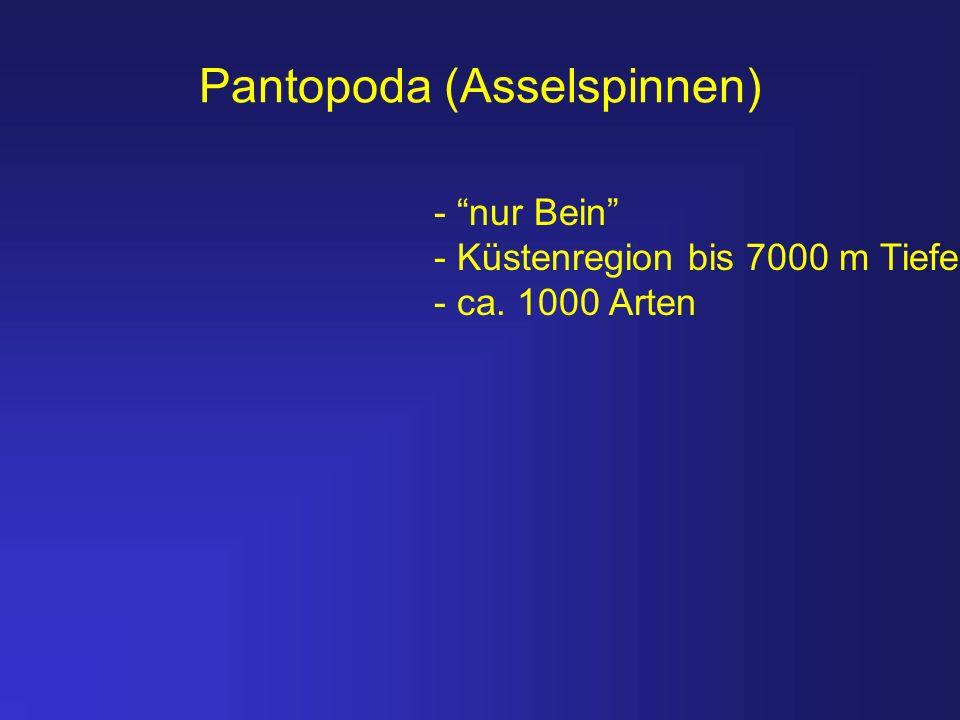 Pantopoda (Asselspinnen)