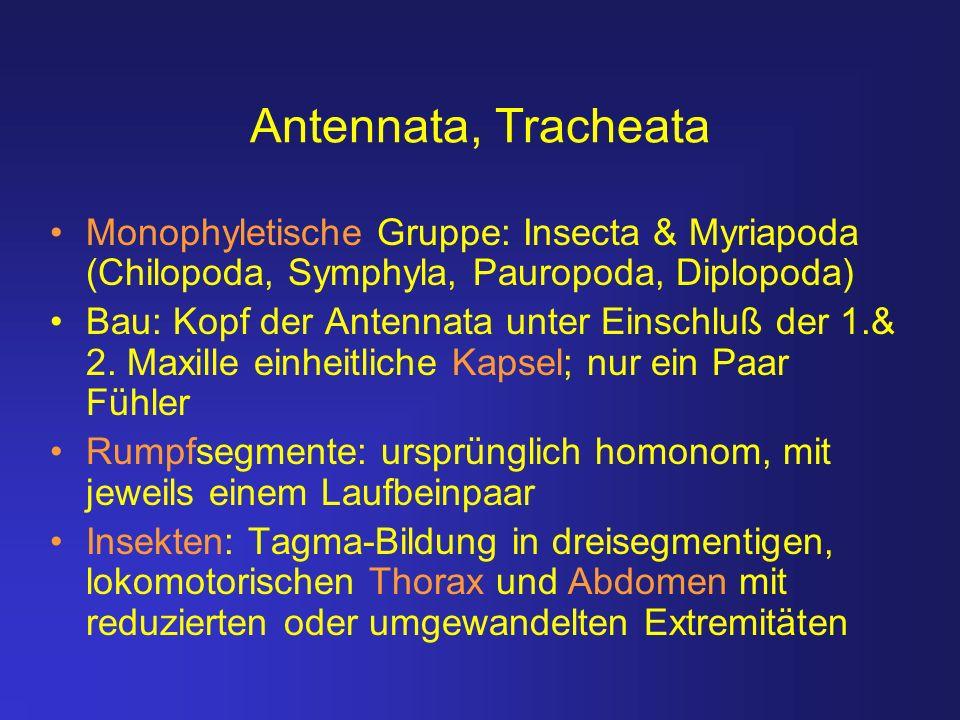 Antennata, Tracheata Monophyletische Gruppe: Insecta & Myriapoda (Chilopoda, Symphyla, Pauropoda, Diplopoda)