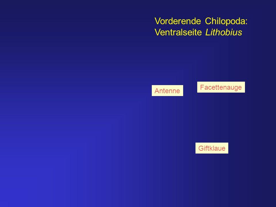 Vorderende Chilopoda: Ventralseite Lithobius