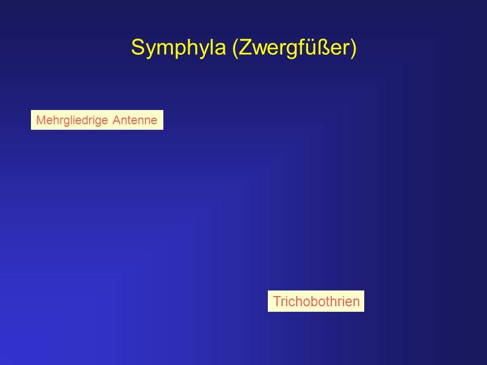 Symphyla (Zwergfüßer)