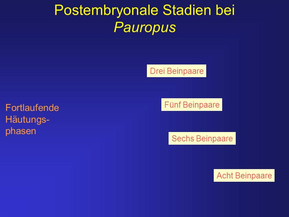 Postembryonale Stadien bei Pauropus
