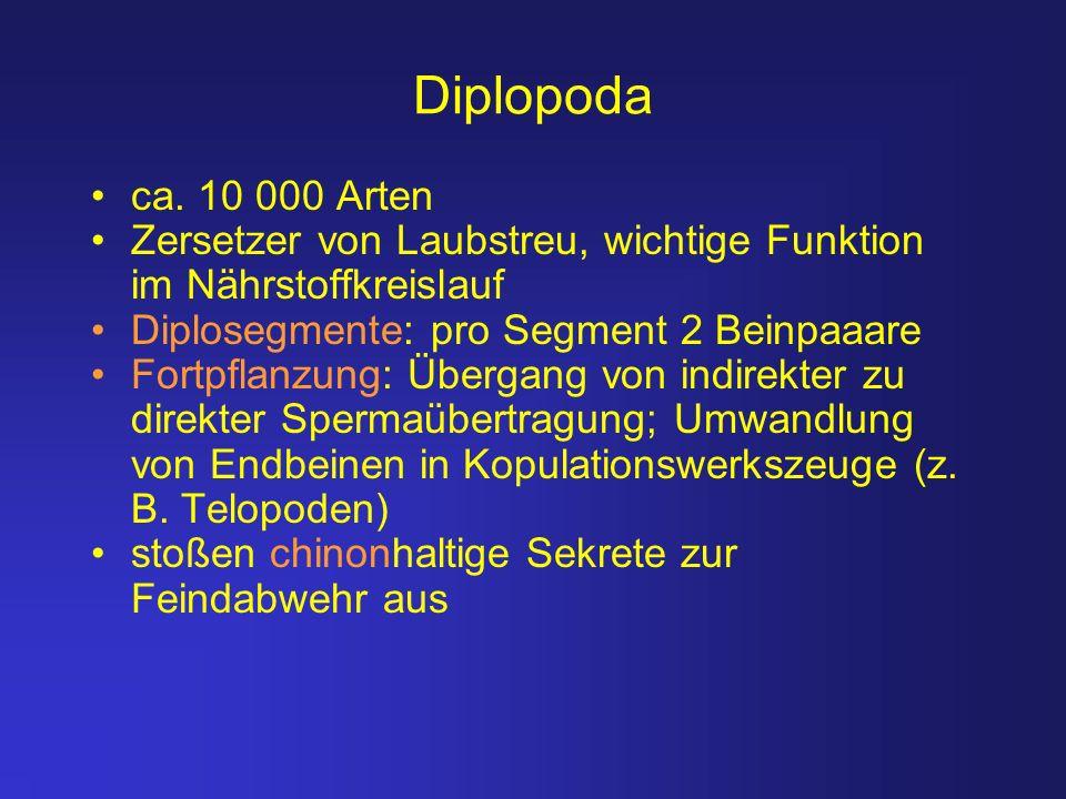 Diplopoda ca. 10 000 Arten. Zersetzer von Laubstreu, wichtige Funktion im Nährstoffkreislauf. Diplosegmente: pro Segment 2 Beinpaaare.