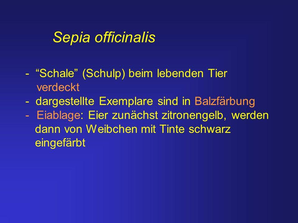 Sepia officinalis - Schale (Schulp) beim lebenden Tier verdeckt
