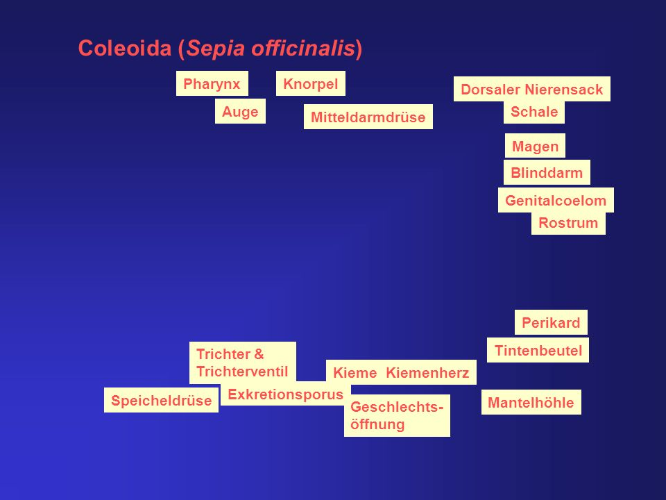 Coleoida (Sepia officinalis)