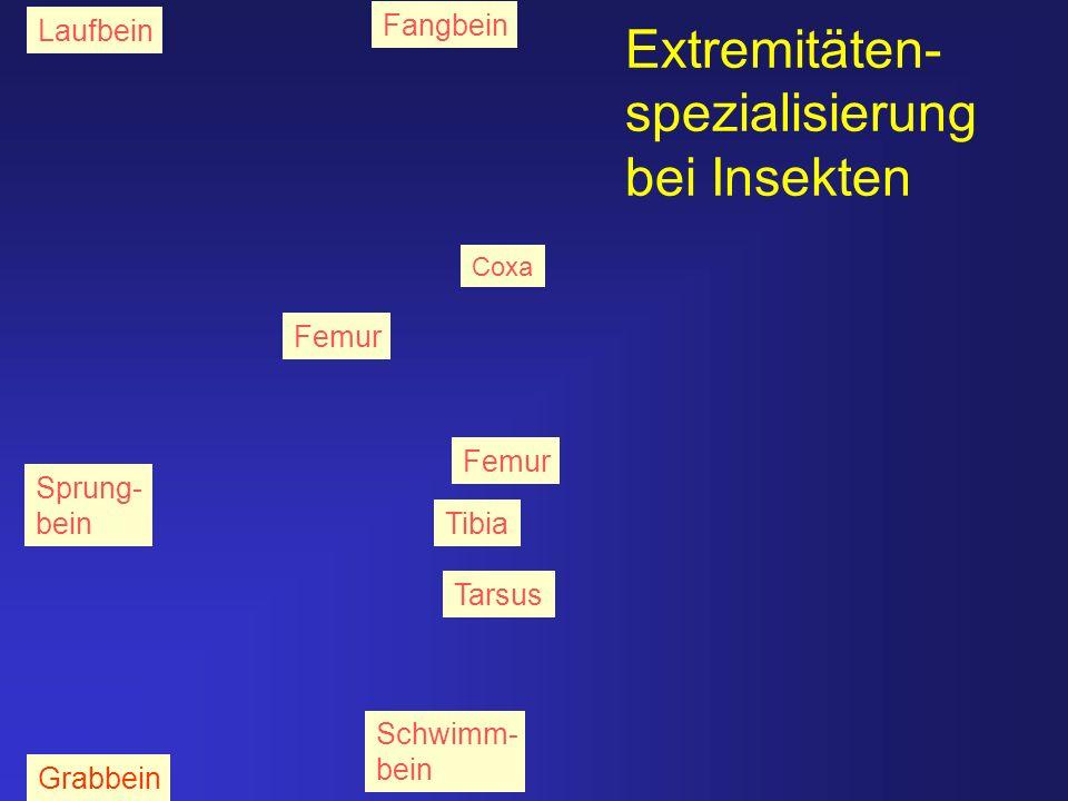 Extremitäten-spezialisierungbei Insekten