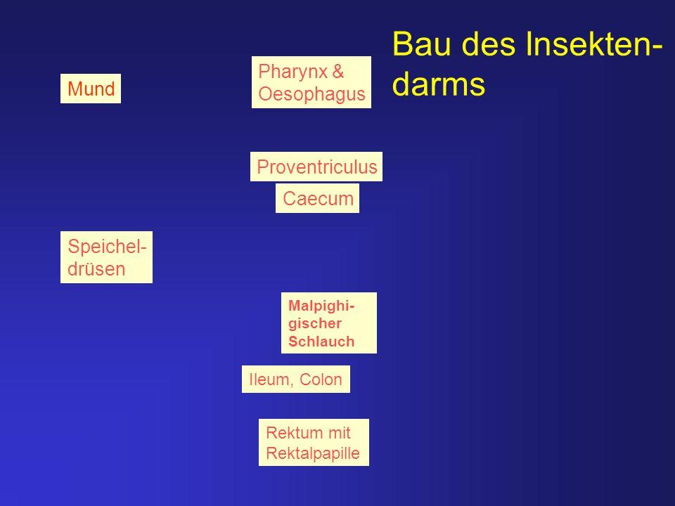 Bau des Insekten- darms Pharynx & Oesophagus Mund Proventriculus