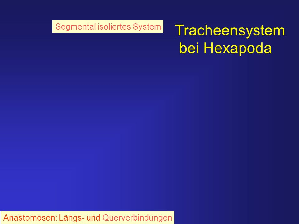 Tracheensystem bei Hexapoda