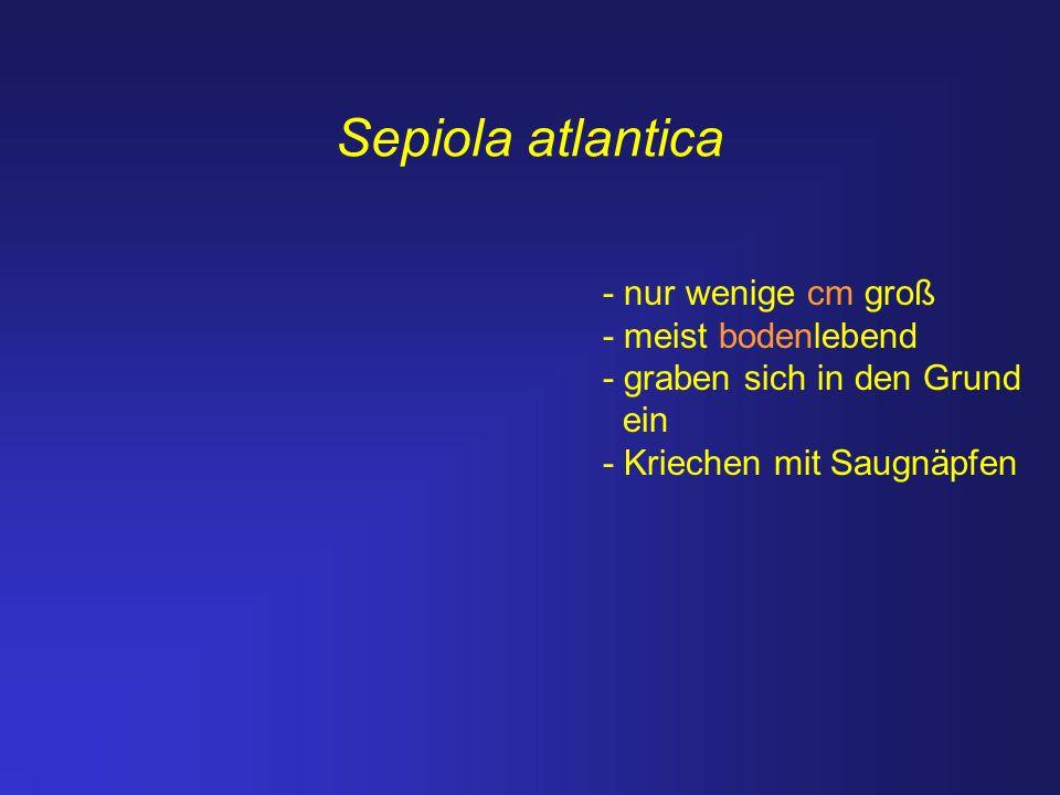 Sepiola atlantica - nur wenige cm groß - meist bodenlebend