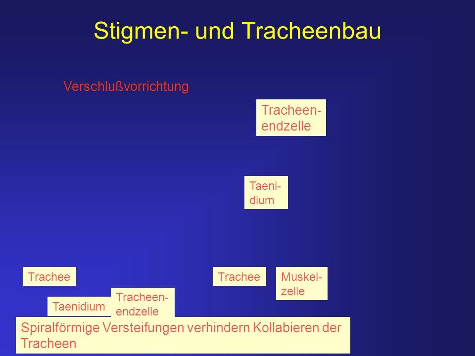 Stigmen- und Tracheenbau