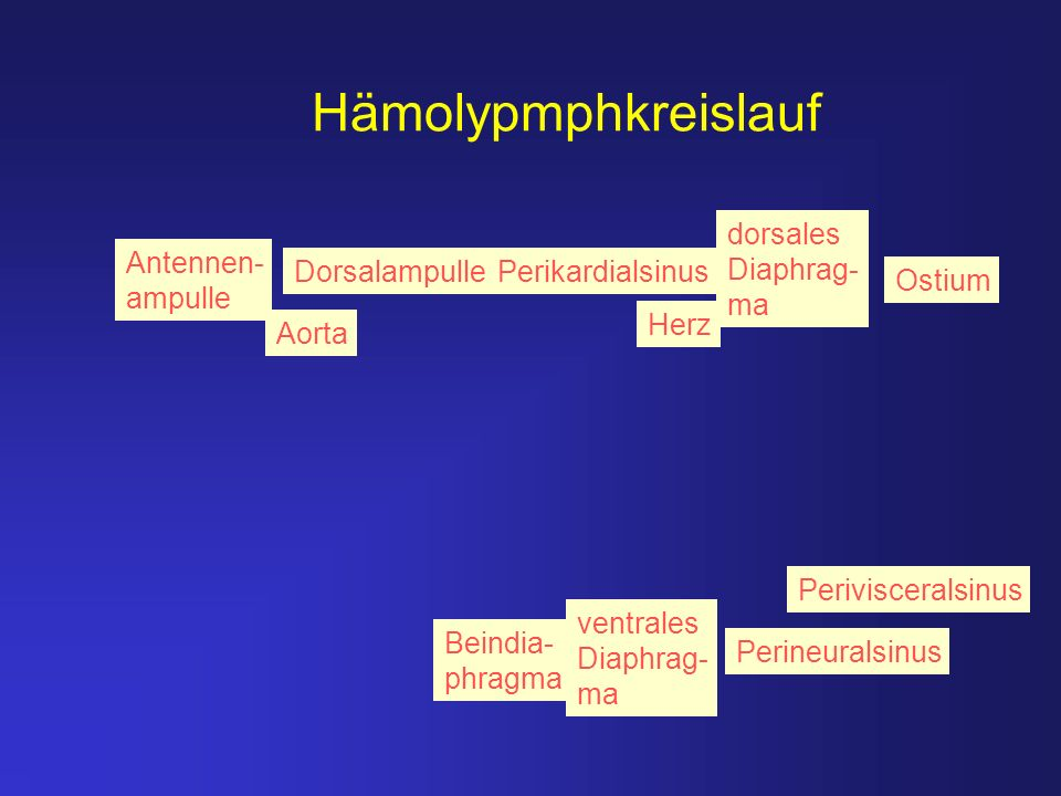 Hämolypmphkreislauf dorsales Diaphrag-ma Antennen- ampulle