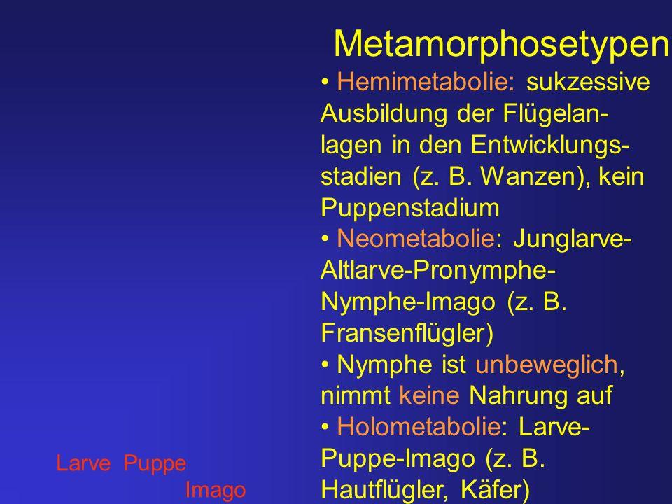 Metamorphosetypen Hemimetabolie: sukzessive Ausbildung der Flügelan-lagen in den Entwicklungs-stadien (z. B. Wanzen), kein Puppenstadium.