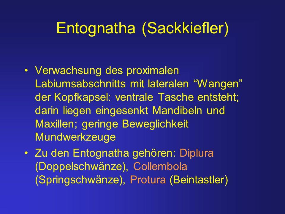 Entognatha (Sackkiefler)