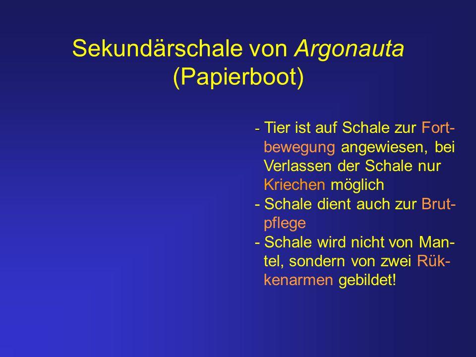 Sekundärschale von Argonauta (Papierboot)