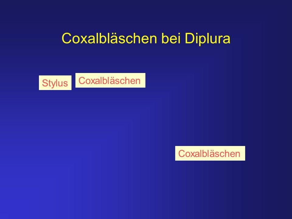Coxalbläschen bei Diplura