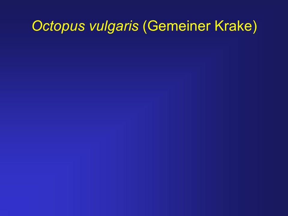 Octopus vulgaris (Gemeiner Krake)