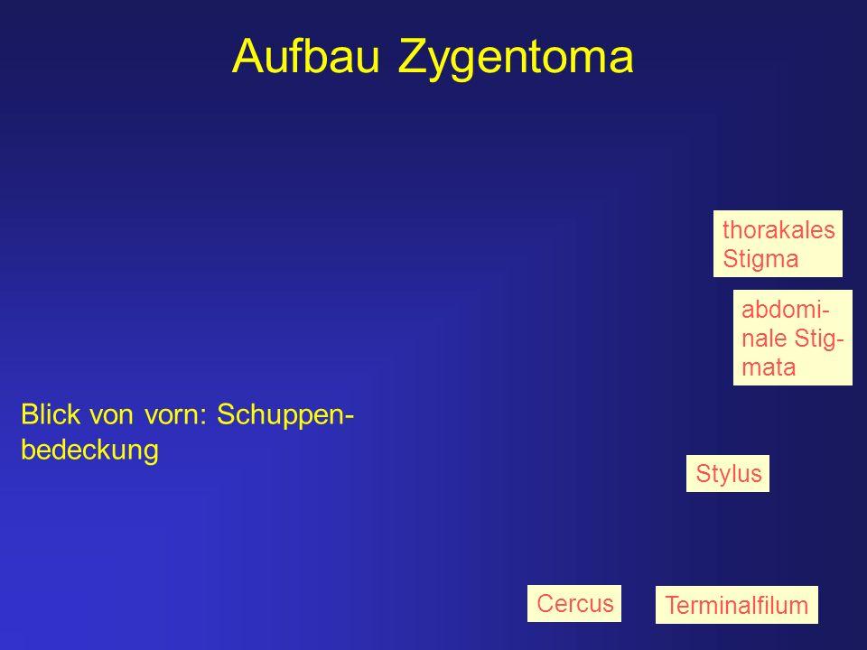 Aufbau Zygentoma Blick von vorn: Schuppen- bedeckung thorakales Stigma