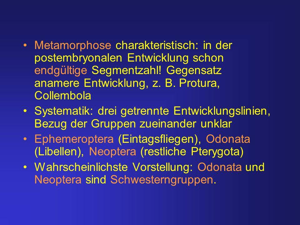 Metamorphose charakteristisch: in der postembryonalen Entwicklung schon endgültige Segmentzahl! Gegensatz anamere Entwicklung, z. B. Protura, Collembola