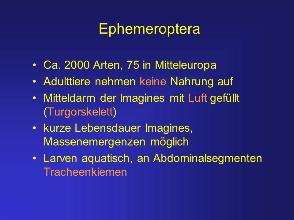 Ephemeroptera Ca. 2000 Arten, 75 in Mitteleuropa
