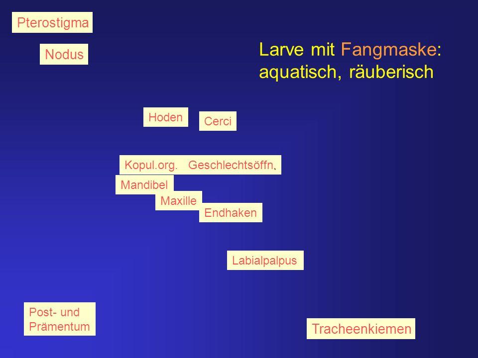 Larve mit Fangmaske: aquatisch, räuberisch Pterostigma Nodus