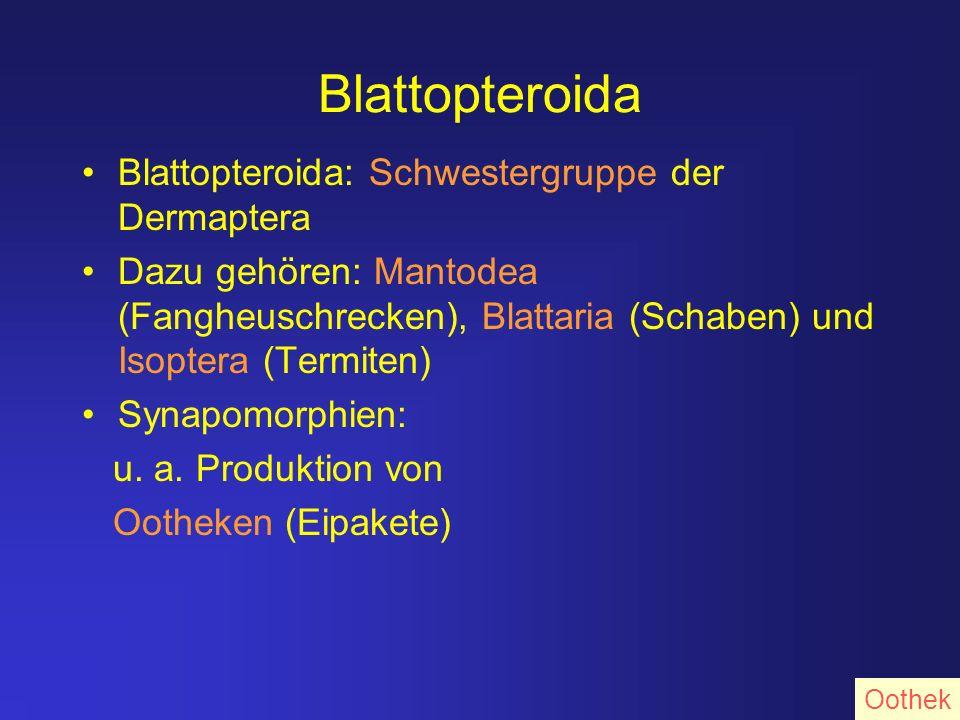 Blattopteroida Blattopteroida: Schwestergruppe der Dermaptera