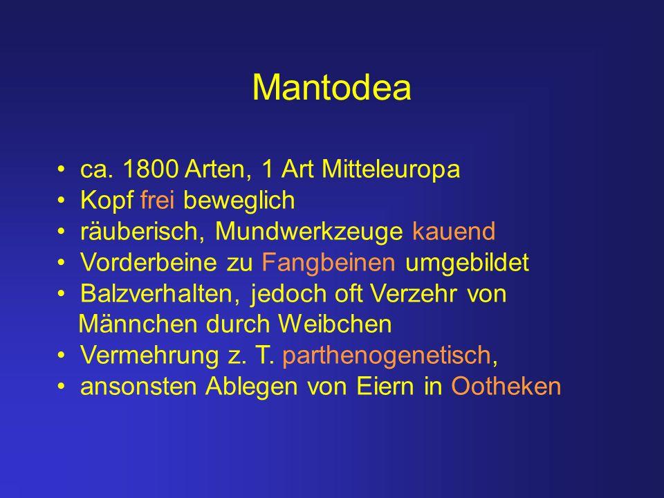 Mantodea ca. 1800 Arten, 1 Art Mitteleuropa Kopf frei beweglich