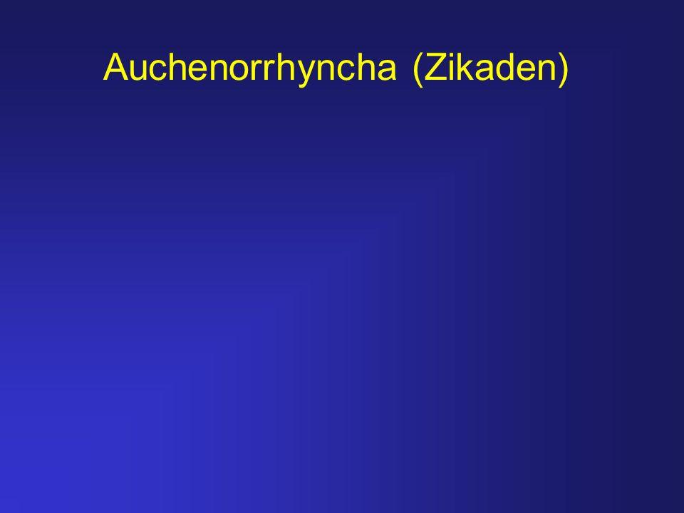 Auchenorrhyncha (Zikaden)