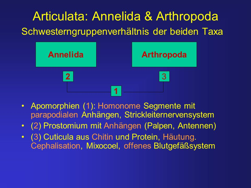 Articulata: Annelida & Arthropoda