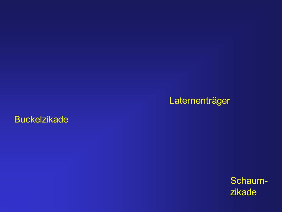 Laternenträger Buckelzikade Schaum- zikade