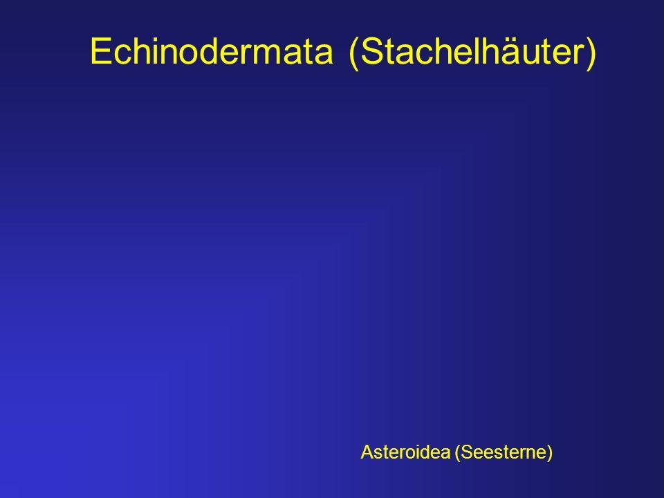 Echinodermata (Stachelhäuter)