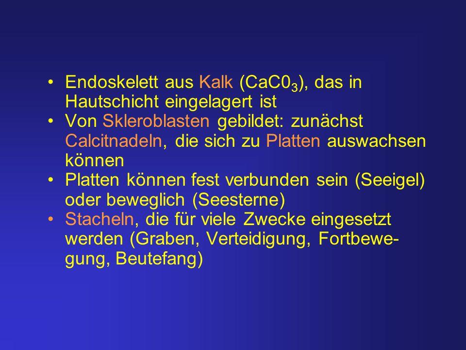 Endoskelett aus Kalk (CaC03), das in Hautschicht eingelagert ist